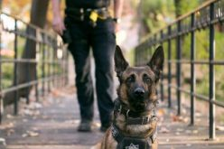 Parolee with a Felony Warrant Apprehended By K9 Pax