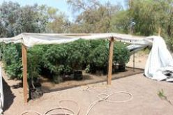 Illegal Pot Growers Busted